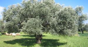شجرة-الزيتون