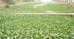 زهرة النيل